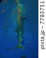 捕食中のジンベイザメ(美ら海水族館/沖縄県国頭郡本部町字石川) 7783751