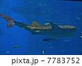 水槽の中を泳ぐジンベイザメ(美ら海水族館/沖縄県国頭郡本部町字石川) 7783752