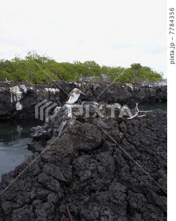 ガラパゴス諸島 7784356