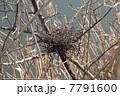 鳥の巣 7791600