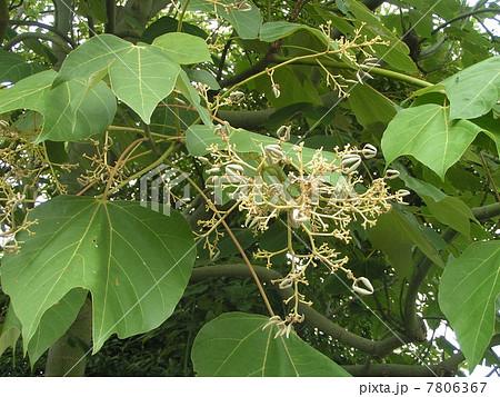 樹皮が緑色で、葉が桐に似ているアオギリの花 7806367