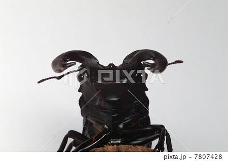 大きいノコギリクワガタの写真素材 [7807428] - PIXTA