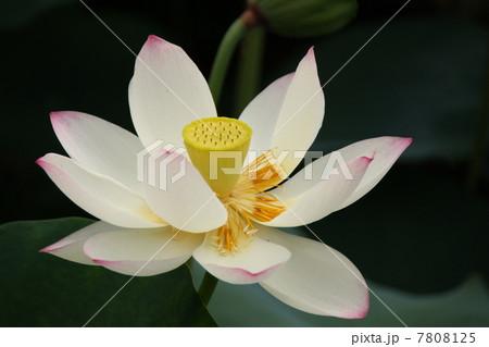 ハスの花の写真素材 [7808125] - PIXTA