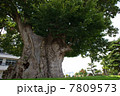 巨樹 大木 木の写真 7809573