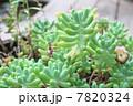 多肉植物 7820324