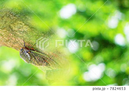 セミ 猛暑の夏のイメージ 木漏れ日とクマゼミ 7824653