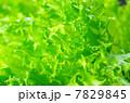 みずみずしい新鮮フリルレタス 7829845