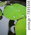 葉っぱ 蓮 水滴の写真 7835306