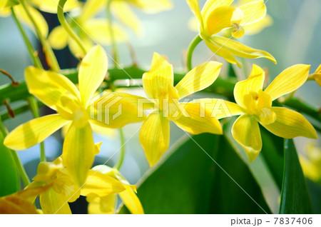 洋蘭:グラマトフィラム  花言葉:友情  Grammatophyllum 7837406