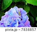 紫の紫陽花とバッタ 7838857