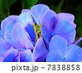 紫の紫陽花とバッタ 7838858