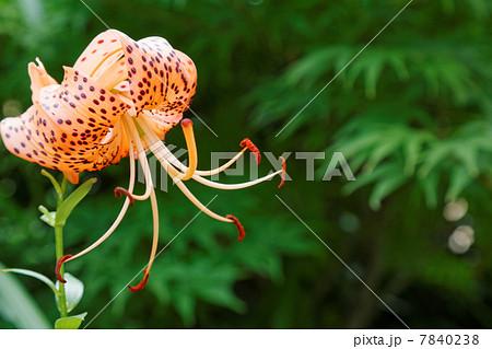 オレンジ色で濃紅色の斑点がある百合の花・鬼百合 7840238