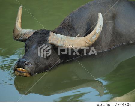 水につかる水牛(家畜種 雄) 7844306