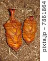 蛹 かぶと虫 カブトムシの写真 7861864