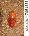蛹 かぶと虫 虫の写真 7861883