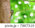 木漏れ日の木とクマゼミ 7867310