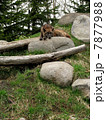 狼 オオカミ シンリンオオカミの写真 7877988