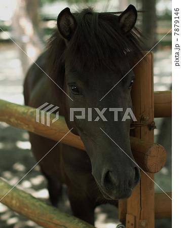 柵から顔をのりだすトカラ馬 7879146