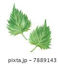 大葉 しその葉 しそのイラスト 7889143