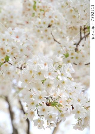 桜 7892511