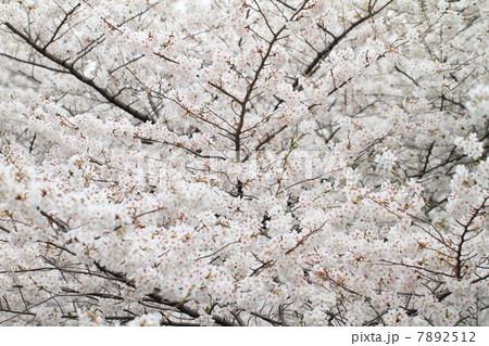 桜 7892512
