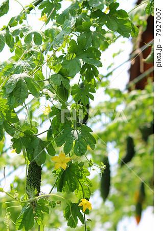 軒先のグリーンカーテン ゴーヤの緑のカーテン  7927007