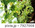 ゴーヤの緑のカーテン グリーンカーテン アップ 7927008