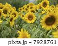 ひまわり畑01 7928761
