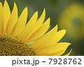 ひまわり畑02 7928762