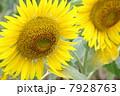 ひまわり畑03 7928763