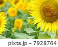 ひまわり畑04 7928764