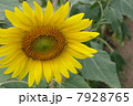 ひまわり畑05 7928765