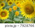 ひまわり畑06 7928766