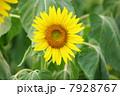 ひまわり畑07 7928767