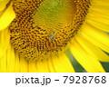 ひまわり畑08 7928768