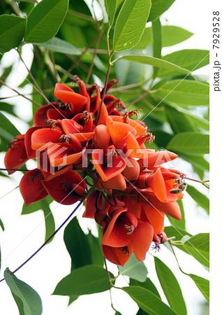 アメリカデイゴ・満開の花 7929528