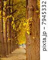 銀杏並木 7945332