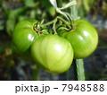 青トマト 7948588