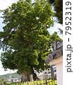 樹木 大木 木の写真 7952319