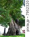 樹木 大木 木の写真 7952320