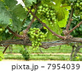 ワイナリー:白ワイン用のぶどう畑 7954039