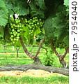 ワイナリー:白ワイン用のぶどう畑 7954040