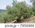 オリーブの木 7956866