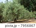 オリーブの木 7956867