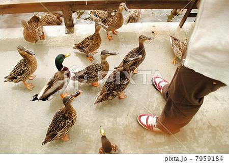 鴨の餌やり 7959184