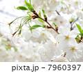 さくら 染井吉野 花の写真 7960397