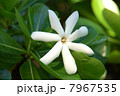 ティアレ・タヒチ Tiare Tahitiの白い花 7967535
