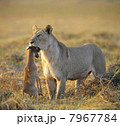 Lioness with prey. 7967784
