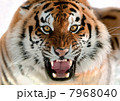 Siberian Tiger Growling 7968040