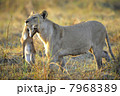 Lioness with prey. 7968389